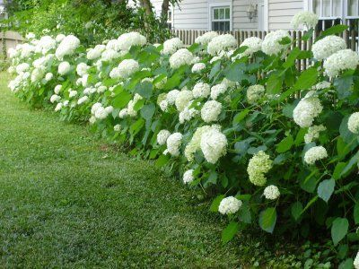 Or Just Divide The Hydrangeas In Early Spring With A Sharp Spade And Replant Easy Landscaping Annabelle Hydrangea Hydrangea