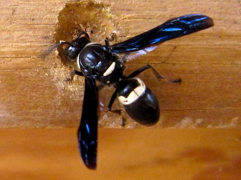 Carpenter Bees Sting Carpenterbees