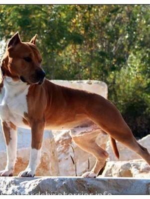 Amerikai Staffordshire Terrier Lovak