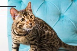 Bengal Kittens Cats For Sale Near Me Wild Sweet Bengals Bengalkittens Discover Our Bengal In 2020 Bengal Kitten Bengal Kittens For Sale Bengal Cat For Sale
