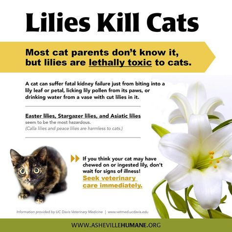 Lillies Kill Cats Cat Parenting Network For Good Animal Facts