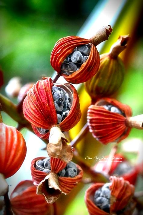 Seed pods, red pods