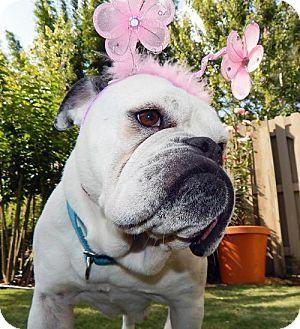 Tampa Fl English Bulldog French Bulldog Mix Meet Weeza A Dog