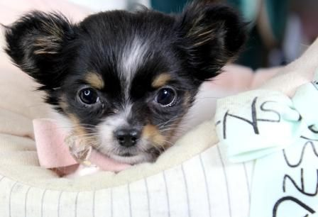 Teacup Chihuahua Puppies For Sale We Finance And Ship Very Safe