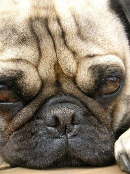 How To Clean Your Pug S Face Wrinkles Wrinkle Dogs Pugs