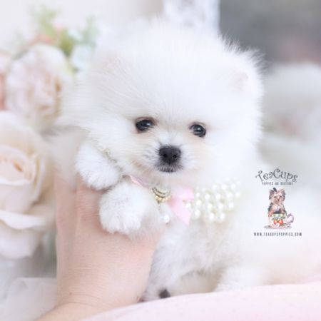 Tiny Teacup Pomeranian Puppies Teacups Puppies Boutique Part 4 In 2020 Pomeranian Puppy Teacup Pomeranian Puppy Pomeranian Puppy For Sale