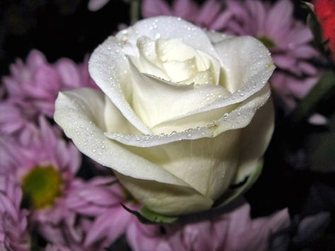 Mawar Putih Kumpulan Gambar Bunga Mawar Putih Yang Cantik