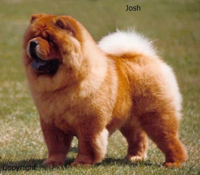 The Chow Chow Was Bred In Ancient China For Food Guarding And