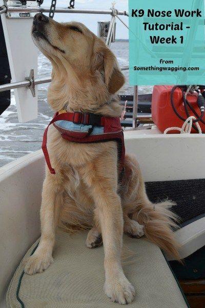 K9 Nose Work Tutorial 1 Beloved Shepherds Dogs Service Dogs