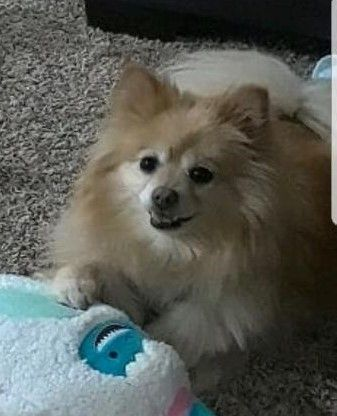 Lost Dog Saint Paul Pomeranian Female Date Lost 03 03 2020 Dog S Name Bella Breed Of Dog Pomeranian Gender Female Closest In In 2020 Dog Ages Losing A Dog Dogs