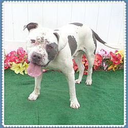 Pet Card Adopt Rescue Foster Best Friend Ever Dogs Pitbull