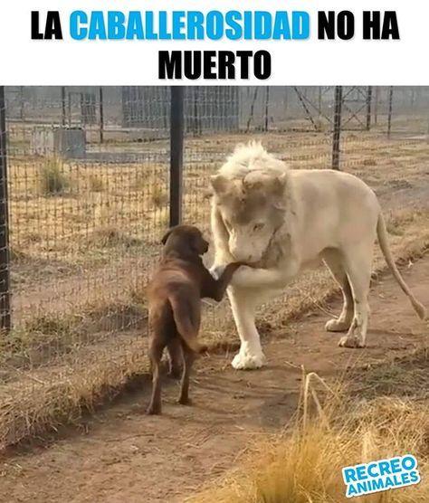 Buenos Dias Senorita Un Placer Leon Lion Dog Perro Love Animales Memes Perros Perros Frases Memes De Perros Chistosos