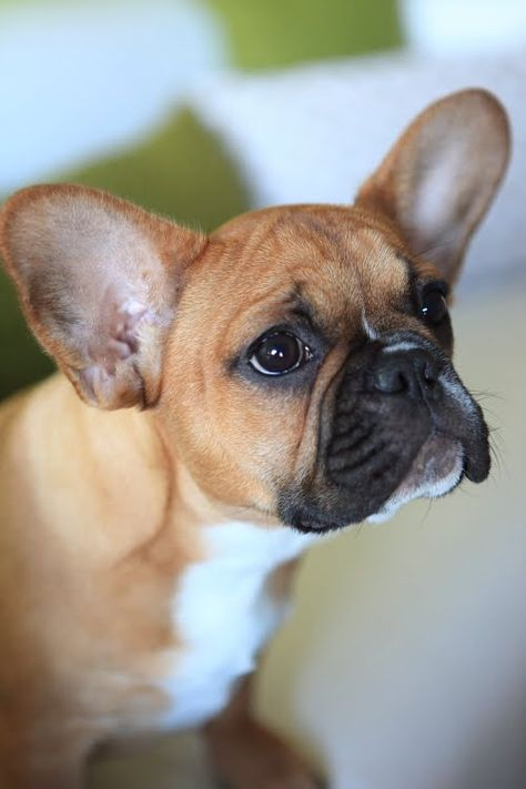 French Bulldog Puppy Fawn With Black Mask French Bulldog