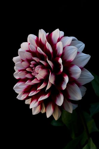 Dahlia Flower Wallpaper Beautiful Flowers Wallpaper Iphone Cute
