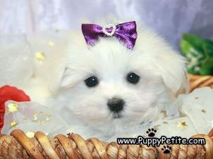Nyc Puppy Maltese For Sale Maltese For Sale Puppies