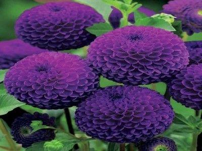 Dalie W Rosliny Ogrodowe Allegro Pl Strona 2 Plants Dahlia