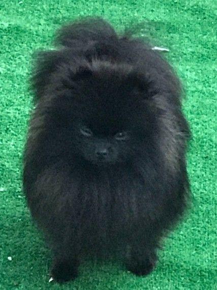Kc Blk Pomeranian Stud 16cm Height Pomeranian Caterham Poodle