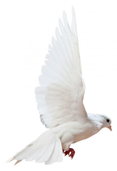 A Free Flying White Dove Isolated Stock Image White Doves Black And White Background White Background Images