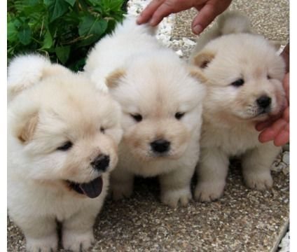 Chow Chow Puppy Animals Pets Singapore Chutku Sg
