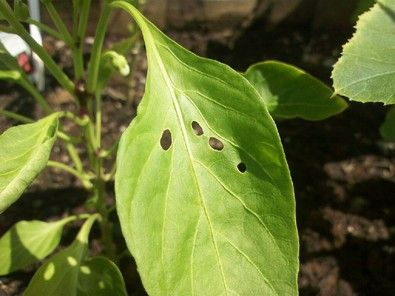 9 All Natural Ways to Keep Slugs Out Of Your Garden - So you've planted that organic garden and much to your dismay, your plants aren't thriving and you begin to notice holes in the leaves. YOU'VE GOT SLUGS!