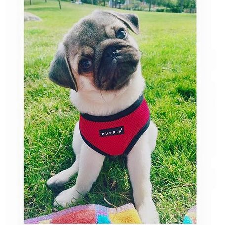 Puppia Red Harness In Sizes Xs Xxl At Www Ilovepugs Co Uk Post