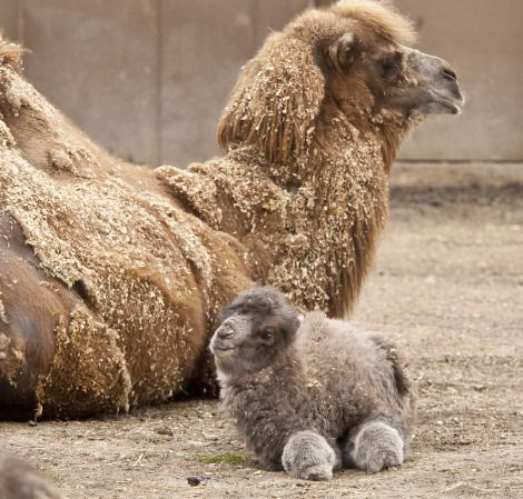 Who knew baby Camels were so dog dang adorable! It's like a smiling marshmallow with legs.