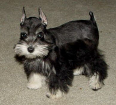 Miniature Schnauzer Puppies For Sale Houston Miniature Schnauzer Puppies Schnauzer Puppy Puppies For Sale