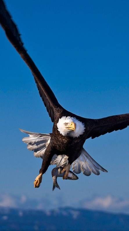 Eagle Wallpaper 4k Iphone Mywallpapers Site Bald Eagle Eagle Pictures Eagle Wallpaper Cool eagle wallpaper 3d