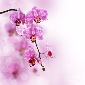 Salon Decor Wall Art Photograph Pink Orchid By Delphimages Photo Creations Flower Art Pink Orchids Orchids