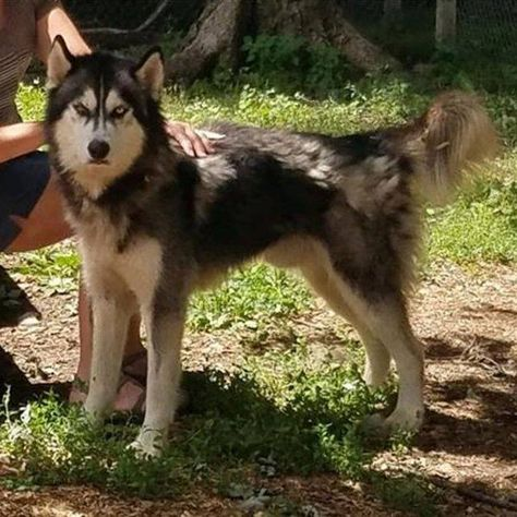 Is This Your Dog City Siberian Husky Male Date Found 07 23