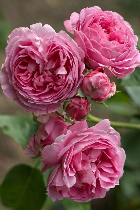 Rose 'Louise Odier' Bourbon, eine wunderbare Rose für den #garten . Ein Duft... Eure #Gartenphilosophin
