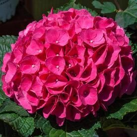 Gardens Alive 16 Oz Red Glowing Embers Hydrangea Flowering Shrub In Pot Lowes Com Flowering Shrubs Spring Hill Nursery Hydrangea Potted Plant