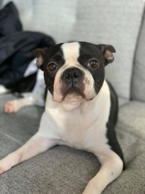 Get To Know Midamerica Boston Terrier Rescue In 2020 Boston