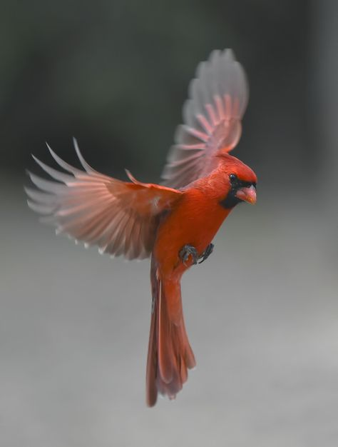 Dad bird for you mami💓 Pretty Birds, Beautiful Birds, Cardinal Pictures, Messages From Heaven, Northern Cardinal, Cardinal Birds, Colorful Birds, Fauna, Bird Watching