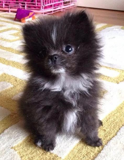 Pomeranian Bold And Inquisitive Zwergspitz Pomeranian Zwergspitz Spitz Hund