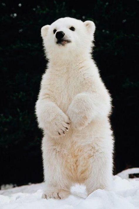 Polar Baby Animals That Can Warm Your Heart Even in Extreme Cold Cute Baby Animals, Animals And Pets, Wild Animals, Polar Animals, Baby Panda Bears, Baby Pandas, Baby Giraffes, Baby Otters, Cute Polar Bear