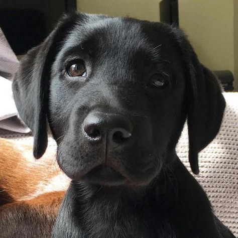 """Learn even more relevant information on """"lab puppies"""". Check out our website. Black Lab Puppies, Cute Dogs And Puppies, I Love Dogs, Doggies, Puppies Puppies, Cute Funny Animals, Cute Baby Animals, Animals And Pets, Funny Cats"""