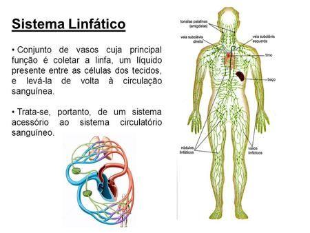 E sistema circulatório linfático sistema