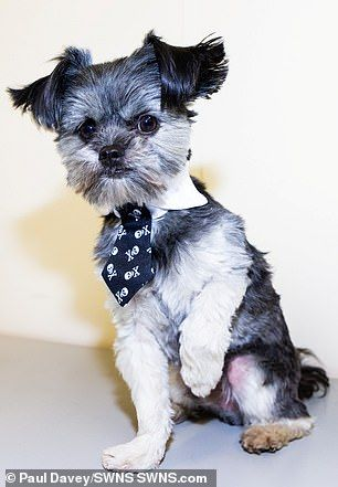 Shih Tzu Chihuahua Cross Is Named Britain S Most Handsome