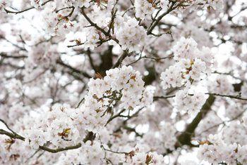 Growth Rates Of Yoshino Cherry Trees Yoshino Cherry Tree Yoshino Cherry Cherry Tree