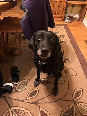 Aurora Il Labrador Retriever Meet Daisy May A Dog For Adoption Pet Adoption Dog Adoption Labrador