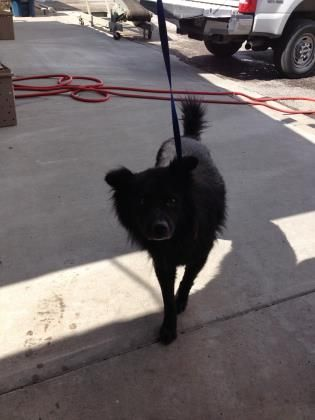 Animal Id 39311826 Species Dog Breed Chow Chow Mix Age 2 Years 2