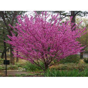 About & Species GROWING INFORMATION Chinese Redbud(Cercis chinensis) The Chinese Redbud tree is a Southern tree reaching heights of 20 to 30 feet. Redbud trees are midsize native and exotic trees that provide an early flush