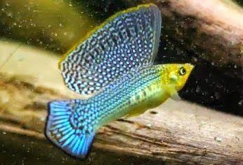 Schwarz Lyretail Molly Beliebteste Typen Von Molly Fish Mollyfish Aquariumfreshwate Molly Fish Tropical Freshwater Fish Tropical Fish Aquarium