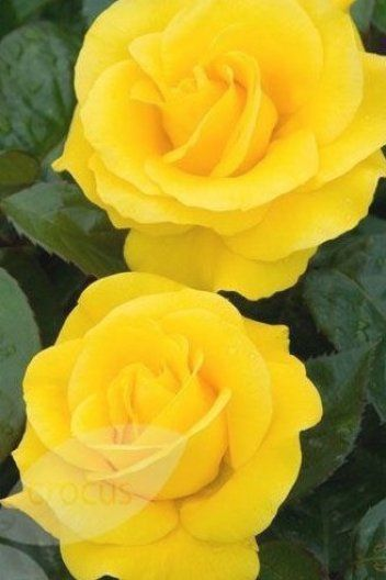 Rosa Golden Wedding Arokris Pbr Glorious Fully Double Slightly Scented Golden Yellow Flo In 2020 Showy Flowers Fiftieth Wedding Anniversary Special Flowers
