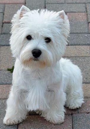Image Result For Cairn Terrier Colors Pitbull Terrier Dog Breeds