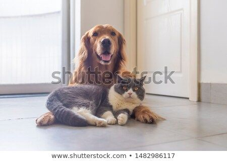 Stock Photo British Shorthair And Golden Retriever Get Along Well With Images Pet Dogs British Shorthair Golden Retriever