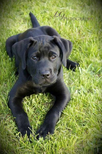 More About The Affectionate Great Dane Pup Temperament