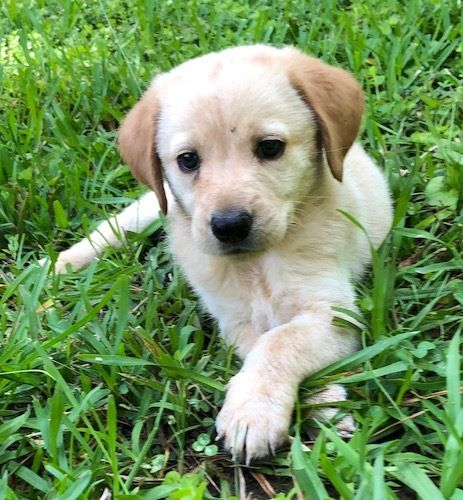 Adopt Fluffy 2 On Petfinder In 2020 Yellow Lab Puppies Yellow Labrador Retriever Labrador Puppy