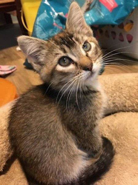 Domestic Short Hair And Abyssinian Mixed Cat For Adoption In Rexburg Idaho Gaellis In Rexburg Idaho Cat Adoption Cat Rescue Adoption